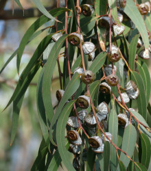 Eukalyptus guľatoplodý - Eucalyptus globulus - semená eukalyptu - 8 ks