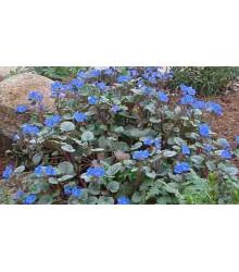 Facélia modrá - Phacelia campanularia - pre včely - semená facélie - semiačka - 0,7 gr