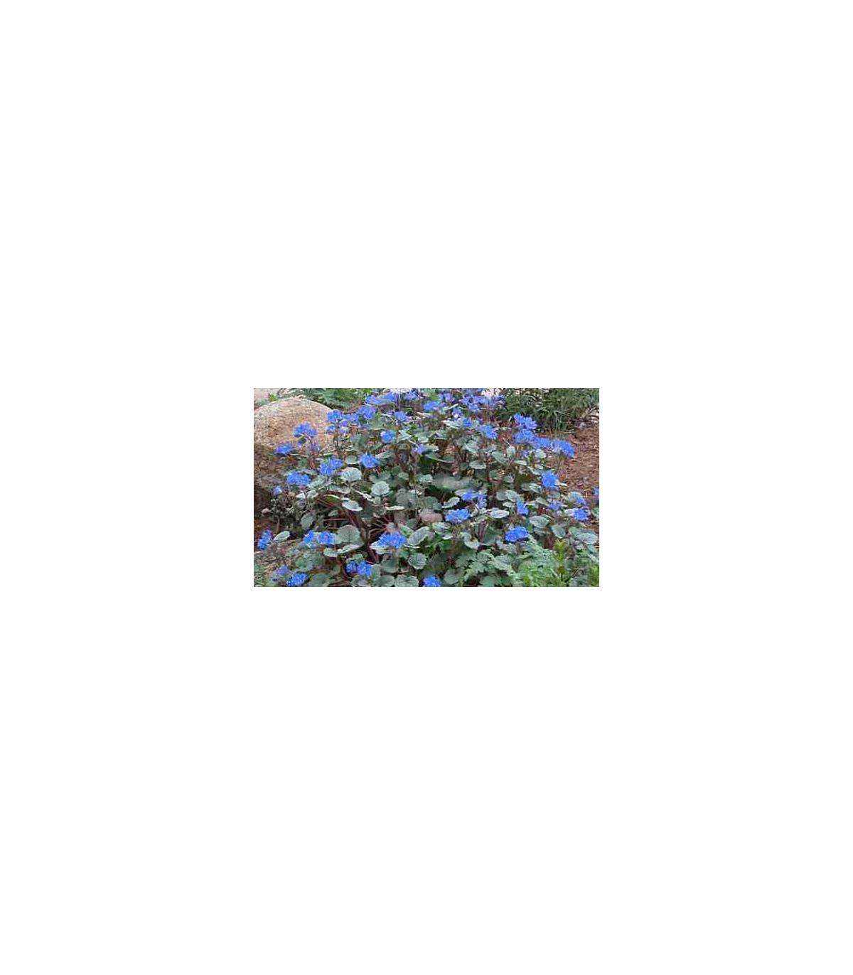 Facélia modrá - Phacelia campanularia - pre včely - semená facélie - 0,7 g