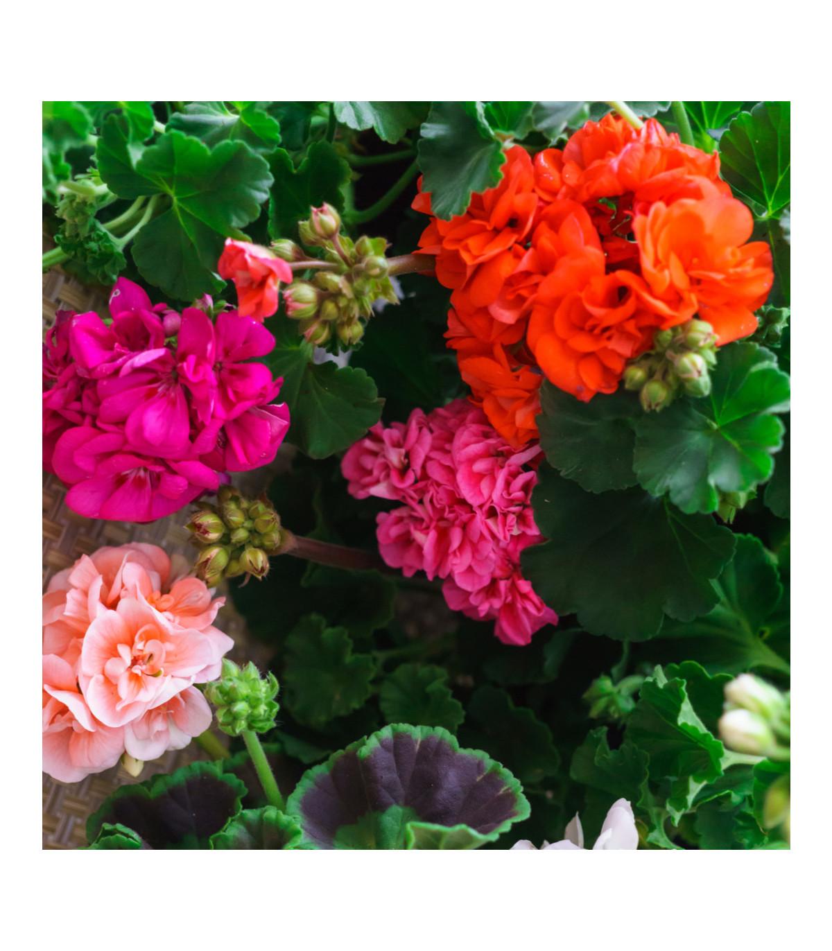 Muškát Paintbox zmes farieb - Pelargonium hybrids - semená muškátu - semiačka - 8 ks