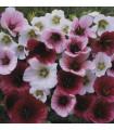 Slezovka trojklanná zmes farieb - Malope trifida - semená - 30 ks