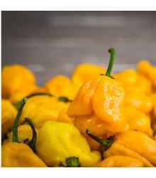 Chilli Trinidad Scorpion Butch žlté - Capsicum chinensis - predaj semien chilli - 5 ks