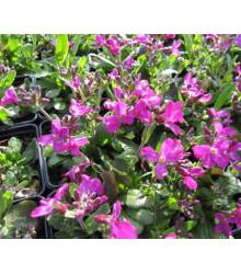 Arábka úzkolistá Spring Charm - Arabis blepharophylla - semená - 30 ks