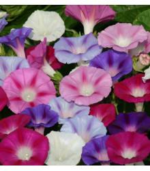 Povojník purpurový - zmes - Ipomoea purpurea - semená - 25 ks