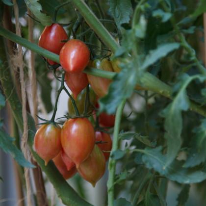 Paradajka Artisan Pink Tiger - kolíková - predaj semien paradajok - Lycopersicon esculentum - 5 ks