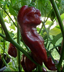 Chilli Devils Tongue Chocolate - Capsicum chinense - semená - 7 ks