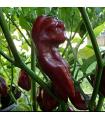 Chilli Devils Tongue Chocolate - Capsicum chinense - semená - 7 ks