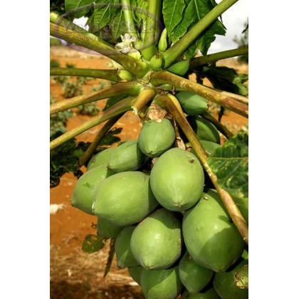 Papája melónová červená - Carica papaya - semená papáje - 5 ks