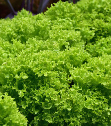 Šalát listový kučeravý Lollo Bionda - Lactuca sativa - semená - 450 ks