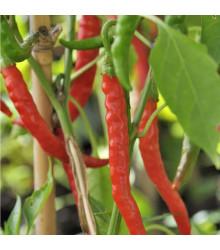 Chilli Kajenské korenie Thick - semená - 8 ks