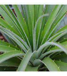Puja - Puya mirabilis- semená Puyi - semiačka - 5 ks