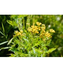 Margaréta vratič - Vratič obyčajný - Tanacetum vulgare - predaj semien - 0,4 g