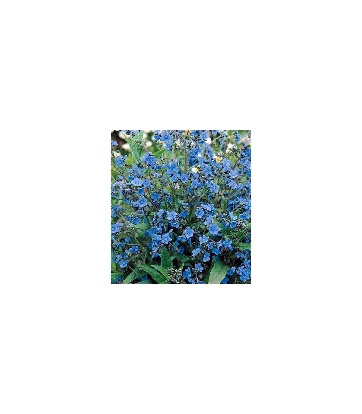 Smohla kapská - pilát - Anchusa capensis - semená - 10 ks