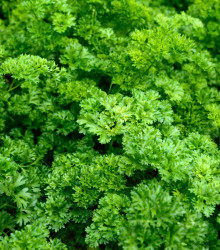 BIO Petržlen Zelená Perla - semená BIO petržlenu - 1 g
