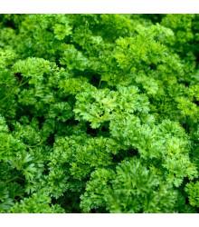 BIO petržlenová vňať Zelená Perla - Petroselinum crispum - bio semená petržlenovej vňate - 1 g