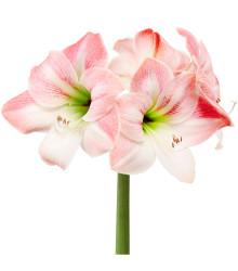 Amarylis Apple Blossom - Zornica - Hippeastrum - cibuľoviny - 1 ks