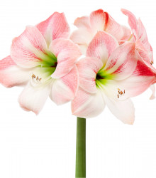 Zornica Apple Blossom - Hippeastrum - cibuľoviny - 1 ks