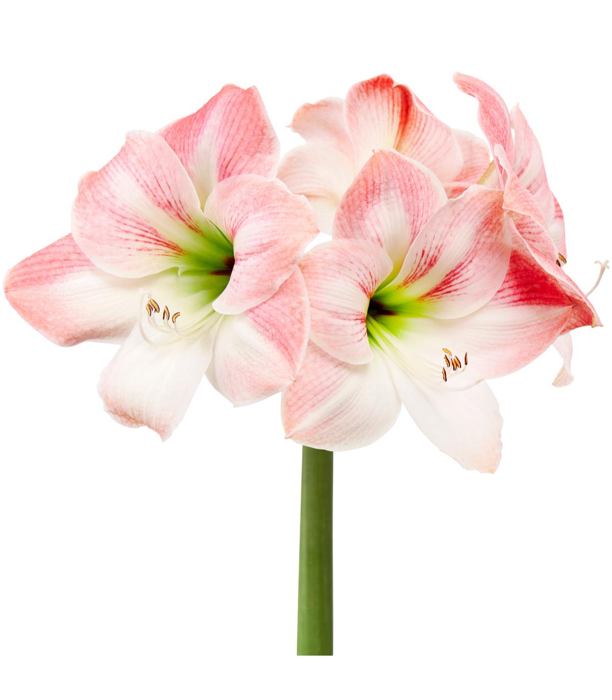 Amarylis Apple Blossom - Zornica - cibuľa amarylis - 1 ks