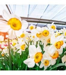 Narcis Flower Record - predaj cibuliek tulipánov - 3 ks