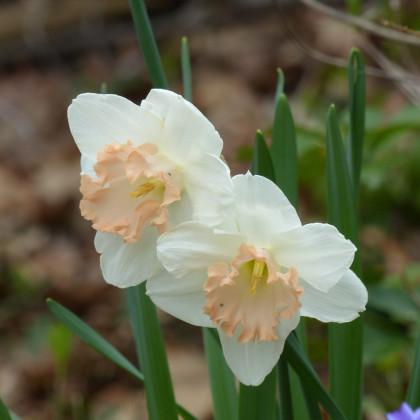 Narcis Salome - predaj cibuľovín - cibuľky narcisov - 3 ks