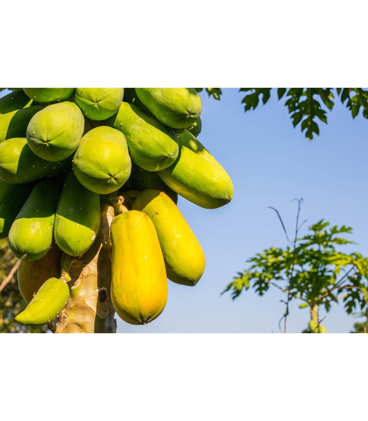 Papája melónová - Carica Papaya - semená papáje - 4 ks