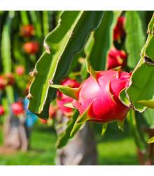 Pithaya - Dračie ovocie - Pythaya - semená Pithaya - semiačka - 4 ks