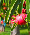 Pithaya - Dračie ovocie - Hylocereus undatus - semená pithaye - 4 ks