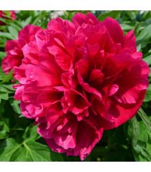 Pivónia Karl Rosenfield - Paeonia lactiflora - cibuľoviny - 1 ks