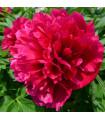 Pivoňka červená Karl Rosenfield - Paeonia lactiflora - cibuľky pivoniek - 1 ks