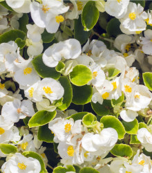 Drobnokvetá begónia biela - Begonia multiflora maxima - cibuľoviny - 2 ks