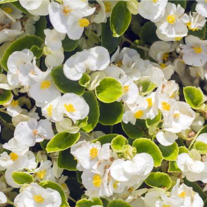 Drobnokvetá begónia biela - Begonia multiflora maxima - predaj jarných cibuľovín - 2 ks