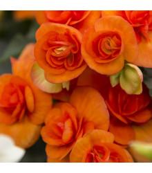 Begónia drobnokvetá oranžová - Begonia multiflora maxima - cibuľoviny - 2 ks