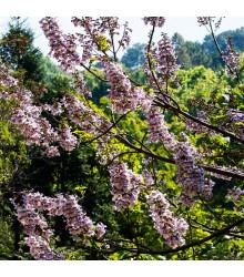 Paulovnia plstnatá - Paulownia tomentosa - semená - 15 ks