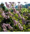 Paulovnia plstnatá- Paulownia tomentosa- semená- 15 ks