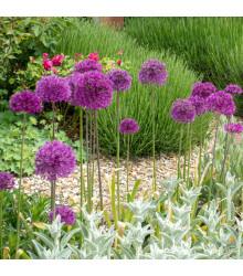 Okrasný cesnak purpurový - Allium Purple Sensation - cibuľoviny - 3 ks