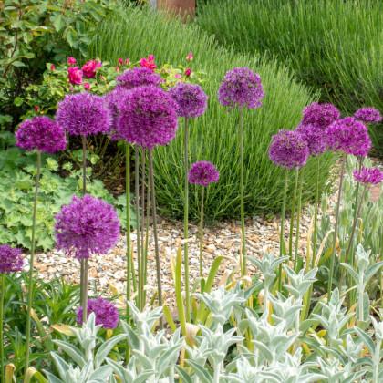 Cesnak okrasný - Allium Purple Sensation - 3 ks