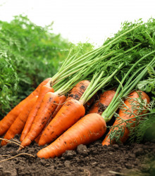 Mrkva neskorá - F1 MAXIMA - Daucus carota - semená mrkvy - semiačka - 1 gr