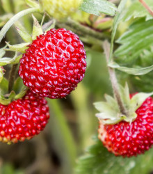 Jahodník lesný - Fragaria vesca - semená jahodníku - semiačka - 10 ks