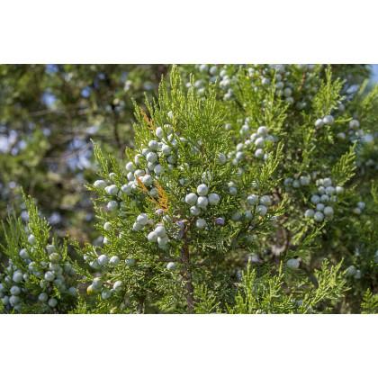 Borievka - Juniperus excelsa - semená borievky - 5 ks