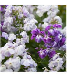 Plamienka metlinatá - zmes - Phlox paniculata grandiflora - semená - 15 ks