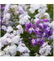Plamienka metlinatá - zmes farieb - Phlox paniculata grandiflora - semená - 0,2 g