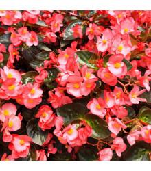 Voskovka Heaven Rose F1 - Begonia semperflorens - begónia - semená - 10 ks