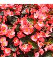 Voskovka - Begonia semperflorens ružová - Heaven Rose F1 - predaj semien - 10 ks