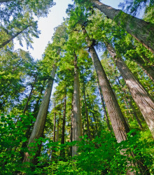 Sekvoja vždyzelená - Sequoia sempervirens - semená - 3 ks