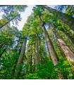Sekvoja vždyzelená- Sequoia sempervirens- semená