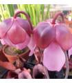 Saracénia ružová - mäsožravka Sarracenia rosea - predaj semien saracénie - 10 ks
