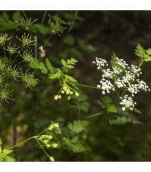 Bio trebuľka siata - Anthriscus cerefolium crispum - bio semená trebuľky - 0,8 g