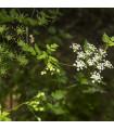 Bio Trebuľka siata Fijne Krul - Bio semená - Anthriscus cerefolium crispum - semená trebuľky - 0,8 g