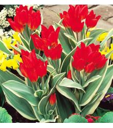 Tulipán viackvetý - Praestans Unicum - predaj cibuľovín - holandské tulipány - 3 ks