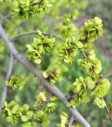 More about Turkestánský brest - Ulmus pumila - brest sibírsky - semená - 10 ks